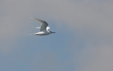 black-naped-tern