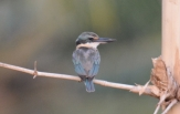 collarde-kingfisher