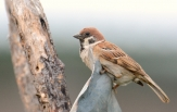 eurasian-tree-sparrow-2
