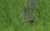 greater-painted-snipe