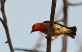 scarlet-headed-flowerpecker