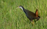 white-breasted-waterhen