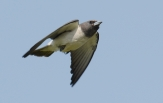 white-breasted-woodswallow-2