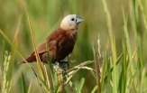 white-headed-munia